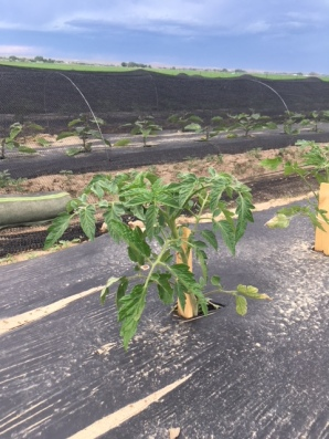 new tomato plant